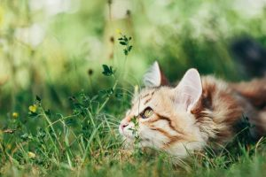 A kitten - Siberian cat hunting in grass. Purebred, red color type